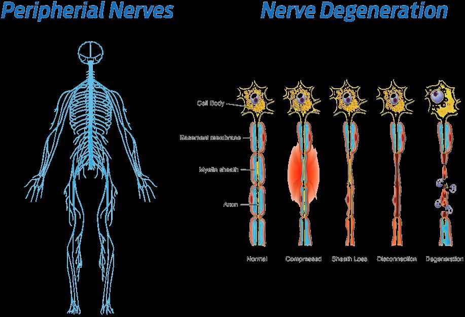 peropherial nerves